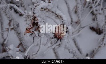 Un coup de la mise au point sélective de cynorhodon baies couvertes de neige tout en poussant sur la brousse Banque D'Images