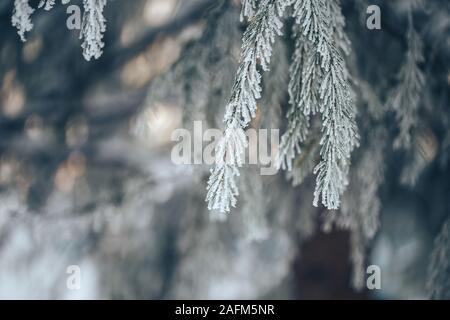 Branches de sapin bleu est couvert de givre