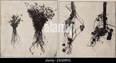 . Germain: [catalogue]. s d'herbes shouldhave une place dans chaque jardin. Leur valeur dans l'assaisonnement et la saveur-ing est bien connu et apprécié. Le soin devrait être pris sur un tcharvest jour sec juste avant de pouvoir pleinement s'épanouir. ANGELICA Archangelica officinalis (jardin). Anis (Pimpinella anisum). Mélisse (Melissa officinalis). Le basilic doux (Ocymun basilicum). (Bourrache bourrache officinale). Le carvi (Carum carui). Cataire (Nepeta cataria). La coriandre (Coriandrum sativum). Le cumin (Cuminum cyminum). Aneth (Anethum graveolens). Le fenouil, la patate douce (Foeniculum vulgare). (Marrubium vulgare) BALLOTE. L'hysope (Hyssopus officin Banque D'Images