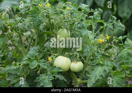 Les tomates vertes naturelles poussant sur une branche dans le jardin Banque D'Images