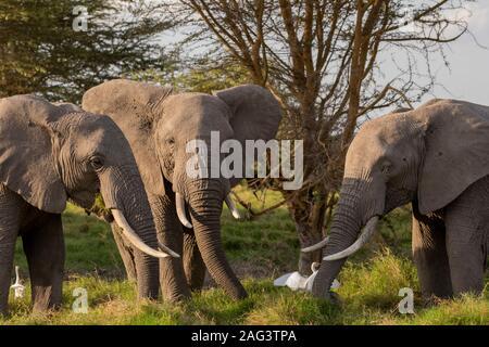 L'éléphant africain (Loxodonta africana) taureaux se nourrir dans le Parc national Amboseli, Kenya