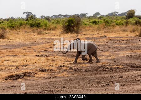 L'éléphant africain (Loxodonta africana) veau tournant dans la savane dans le Parc national Amboseli, Kenya Banque D'Images