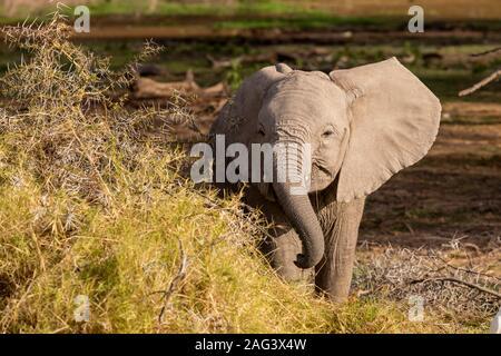 L'éléphant africain (Loxodonta africana) alimentation des veaux dans un acacia dans le Parc national Amboseli, Kenya