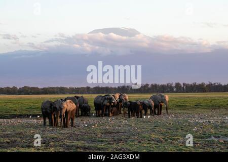 L'éléphant africain (Loxodonta africana) dans le Parc national Amboseli, au Kenya avec le Mont Kilimandjaro (19340 ft) à l'arrière-plan