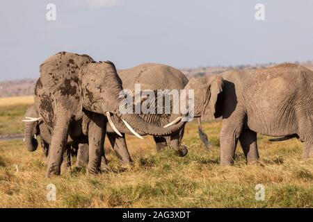 L'éléphant africain (Loxodonta africana) à l'aide de sa trompe pour saluer un autre éléphant dans la savane dans le Parc national Amboseli, Kenya