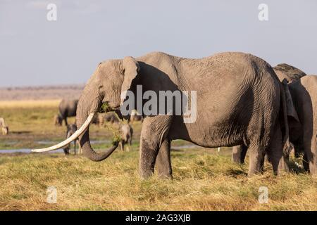 L'éléphant africain (Loxodonta africana) l'alimentation des troupeaux dans la savane dans le Parc national Amboseli, Kenya