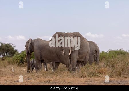 L'éléphant africain (Loxodonta africana) troupeau sur la savane dans le Parc national Amboseli, Kenya