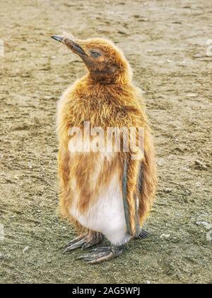 Un gros plan d'un jeune manchot royal (Aptenodytes patagonicus) de mettre son manteau marron vers le bas pour révéler son plumage d'adulte. L'île de Géorgie du Sud.