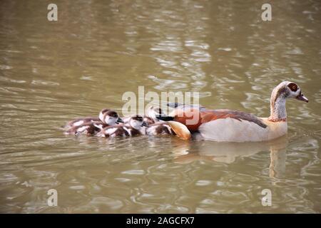 Egyptian goose (Alopochen aegyptiaca) famille, de la mère et oisons dans un parc anglais. Banque D'Images