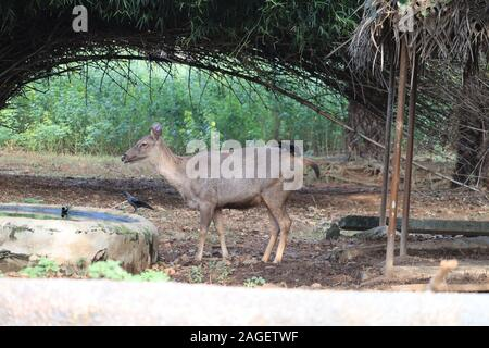 Portrait des adultes puissants majestic red deer stag en automne automne forêt.L'Inde Banque D'Images