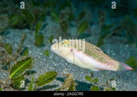 Les Bennets toby, Bennett's aiguillat puffer [Canthigaster bennetti]. Nord de Sulawesi, en Indonésie.