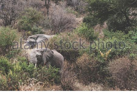 C'est l'African bush elephant (Loxodonta africana) ou le plus petit éléphant de forêt d'Afrique (Loxodonta cyclotis)? Repéré sur la route au lac Manyara Banque D'Images