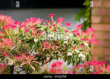 Pieris japonica Flaming Silver est nouveau roulement les jeunes feuilles qui sont d'abord rose vert panaché avant de tourner dans un jardin anglais Banque D'Images