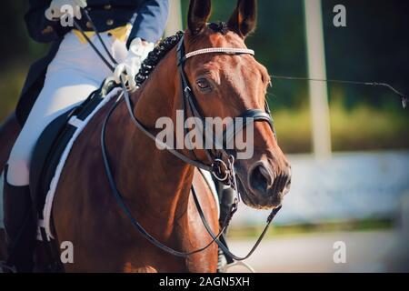 Portrait d'une baie magnifique cheval, habillé en articles de sport et de dressage avec rider dans la selle, qui la tient par les rênes. Banque D'Images