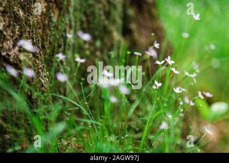 Purple fleurs sauvages le long de la souche d'un arbre dans les montagnes du Parc National Shenandoah en Virginie Banque D'Images