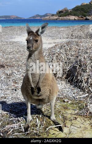 Un Kangaroo sur la plage de Lucky Bay Cape Le Grand dans l'ouest de l'Australie Banque D'Images