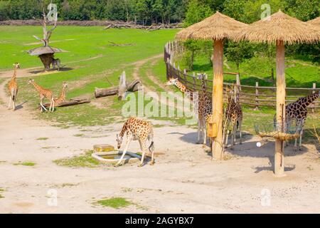 Les Girafes dans leur environnement naturel.