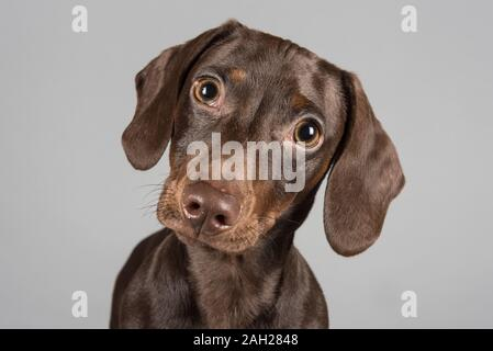 17 semaines, Chocolate miniature Dachshund Puppy, Homme, Royaume-Uni. Banque D'Images