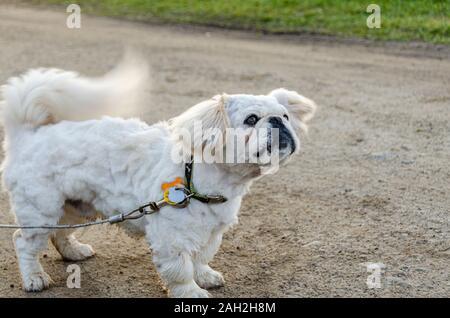 Un épais manteau de poils couvre un pug. L'adorable chien est sur une laisse, même s'il remue la queue. Banque D'Images
