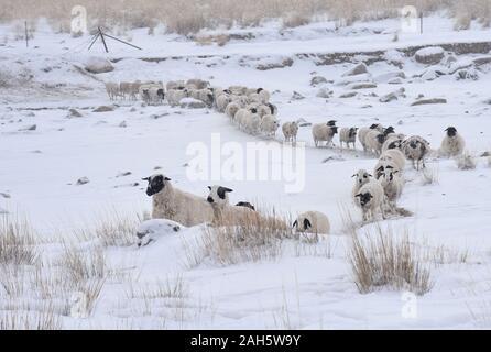 """Hohhot. Le 24 décembre, 2019. Photos prises le 24 décembre 2019 montre quelques moutons de sortir pour se nourrir en milieu Urad Banner, Chine du nord, région autonome de Mongolie intérieure. Dix jours de neige continue a laissé 2,8 millions d'hectares de prairies dans le nord de la Chine, région autonome de Mongolie intérieure enfouie dans la neige profonde, touchant les bergers et leurs troupeaux.POUR ALLER AVEC """"le Nord de la Chine, frappée par tempête' Credit: Li Yunping/Xinhua/Alamy Live News"""