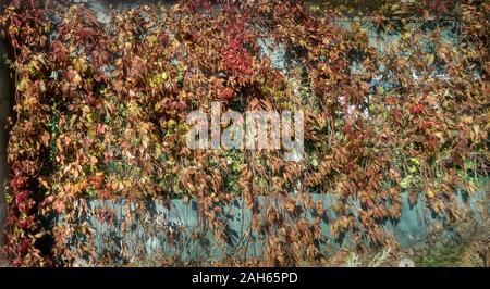 Feuilles rouges sur le mur gris. La texture de l'automne. Banque D'Images