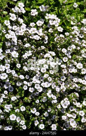 Alpine Gypsophile Gypsophila cerastioides la floraison dans un jardin Banque D'Images