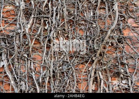 La texture de fond complètement sec sans laisse de plus en plus densément crawler plantes sur mur de briques rouges sur fond jour d'automne chaud et ensoleillé Banque D'Images