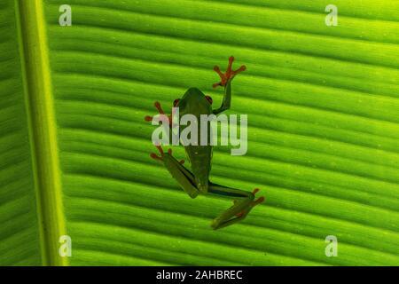 Une grenouille arboricole aux yeux rouges sur une feuille verte
