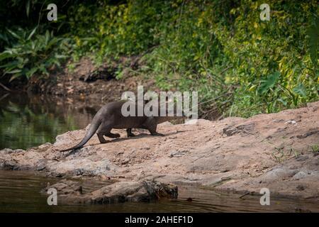 Le bon, la loutre (Cerdocyon perspicillata) est une loutre espèces présentes dans la plupart des sous-continent indien et en Asie du sud-est. Comme son nom l'ind