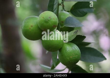 Ripe fruit citron vert avec des feuilles de citron lime sur branche d'arbre avec l'arrière-plan flou. Banque D'Images