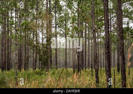 Pins dans le désert de l'hiver en Floride Banque D'Images