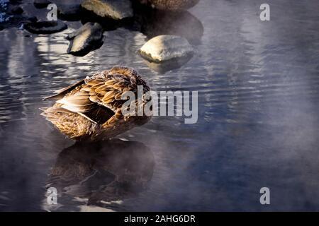 Un seul canard dormant au soleil du matin lorsque la vapeur s'élève de l'eau à Chena Hot Springs, en Alaska Banque D'Images