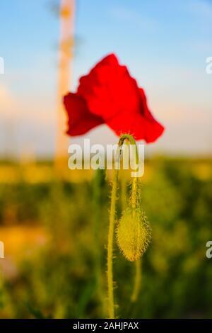 Domaine de fleurs de pavot maïs rouge vif en été Banque D'Images