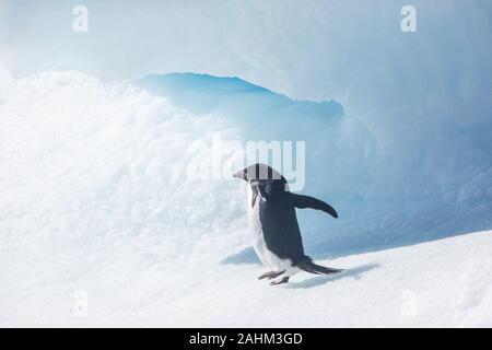 Adele Penguin dans l'Antarctique Banque D'Images