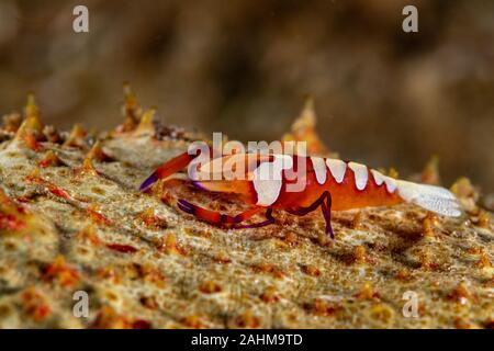 L'empereur, la crevette Periclimenes imperator, est un organisme de crevettes avec une large distribution à travers l'Indo-Pacifique