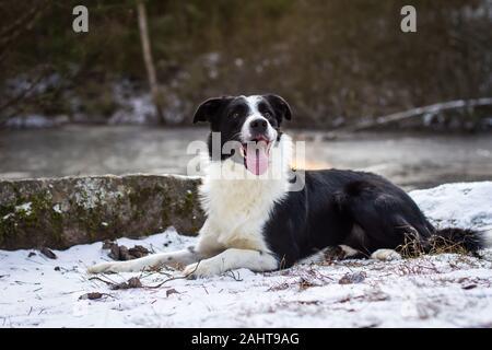 Collie border allongé dans la neige Banque D'Images