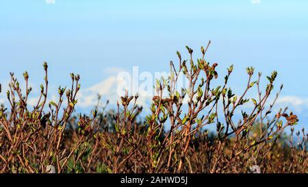 Au début du printemps dans les montagnes, de pousses et de minuscules feuilles vertes sur les buissons. Fond naturel de printemps Banque D'Images