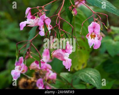 Fleurs rose et vert feuilles d'espèces envahissantes, Impatiens balsamine de l'Himalaya, gladulifera dans le North Yorkshire, Angleterre