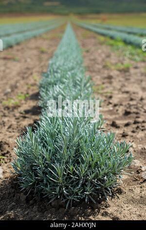Lavandula petite plantes vertes. Lavandula nouvellement plantés. De plus en plus Industrialy la lavande en lignes. Les petits buissons verts.