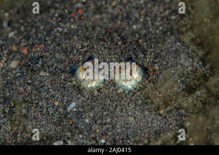 Bottletail Sepiadarium (calmar tropical kochi, Sepiadariidae Famille) enfouis dans le sable, plongée de nuit, plongée Melasti, Amed, Bali, Indonésie, Indien Banque D'Images