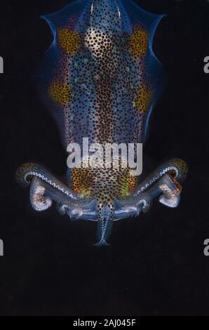 Bigfin Reef Squid Sepioteuthis lessoniana, Loliginidae (famille), plongée de nuit, plongée Melasti, Amed, Bali, Indonésie, l'Océan Indien. Banque D'Images