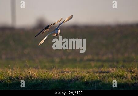 Kestrel Falco tinnunculus- tente de prendre une Owl-Tyto Vole-Cricetidae de Grange alba. Banque D'Images