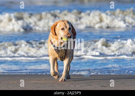 Unleashed blonde labrador retriever dog wearing faisceau et jouer fetch avec balle de tennis sur la plage Banque D'Images