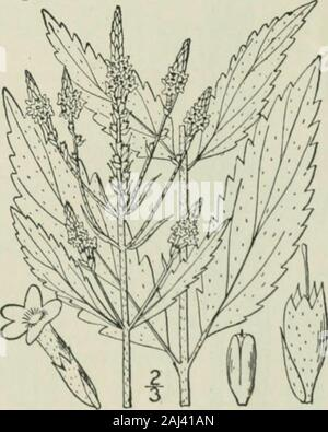 Une flore illustrée du nord des États-Unis, le Canada et les possessions britanniques: de Terre-Neuve jusqu'au parallèle de la limite sud de la Virginie et de l'océan Atlantique à l'ouest jusqu'à la 102e méridien .