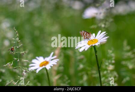 Blooming daisies printemps, gros plan sur une marguerite se trouve un magnifique papillon et des boissons et des gouttes de rosée un coléoptère vole sur un brin d'herbe. Banque D'Images