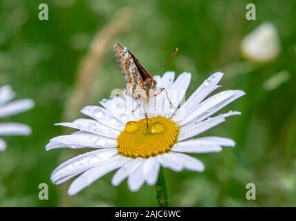 Blooming daisies printemps, gros plan sur une marguerite se trouve un magnifique papillon et des boissons gouttes de rosée. Banque D'Images