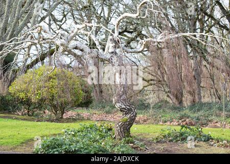 Betula pendula 'Youngii' - bouleau pleureur de Young tree, en hiver. Banque D'Images