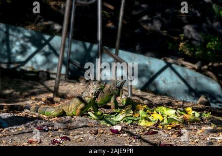 Paire d'iguane vert assis ensemble sur le terrain d'un repas. Puerto Vallarta, Jalisco, Mexique Banque D'Images