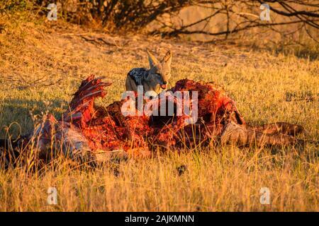Jackal soutenu par des noirs, Canis mesomelas, à une mort, Bushman Plains, Okavanago Delta, Botswana Banque D'Images