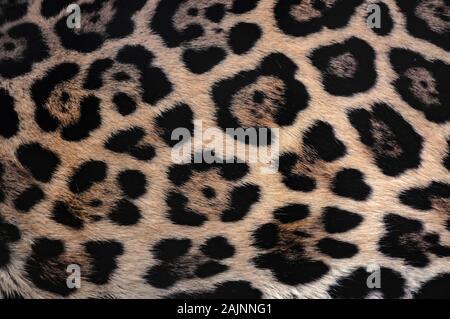 Jaguar fourrure texture background avec beau camouflage tacheté Banque D'Images